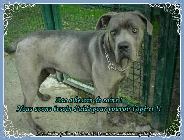 SOS urgent pour ZAC cane corso de 2ans problème de ligaments ! 2013-04-zac1-3d4409a