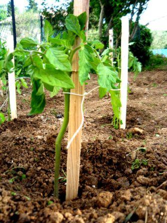Distance entre vos pieds de tomates jouy sous thelle - Distance entre pied de tomate ...